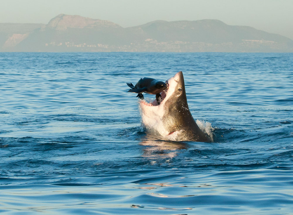 © Tonya Herron/National Geographic Photo Contest During a lovely morning in July I was out photographing Great White Sharks in False Bay, South Africa. We had two days when the sea was so still you could barely see a ripple.