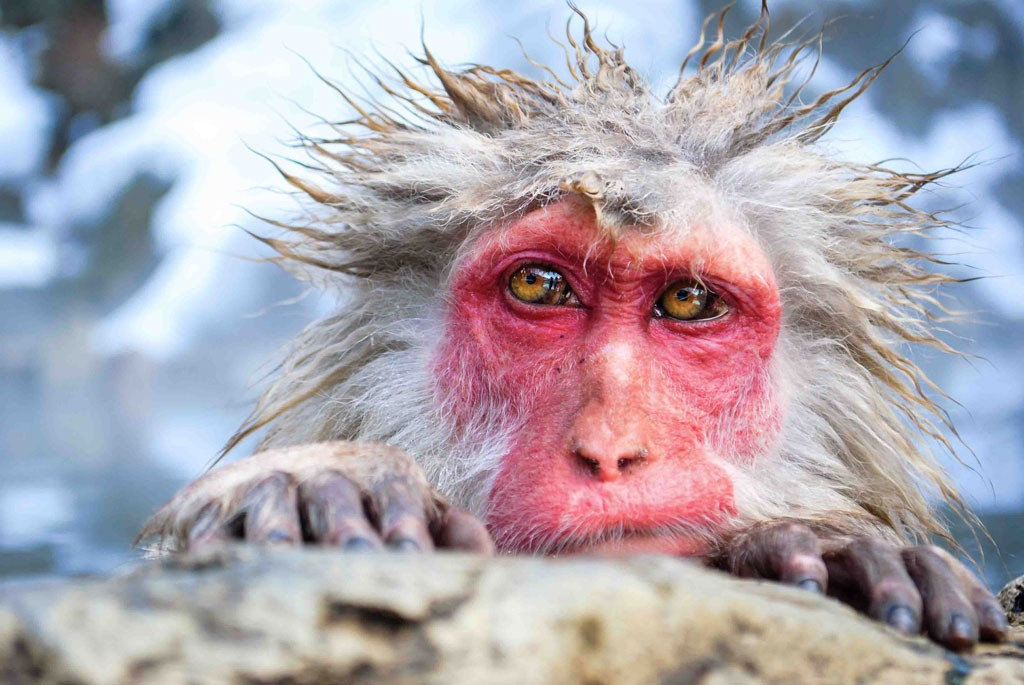 © James Martin  - A Japanese snow monkey
