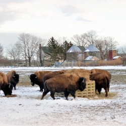 Suburban Bison in Winter Field