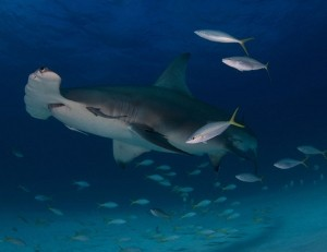 Student 2nd Place -  Laura Rock, Florida Great hammerhead (Sphyrna mokarran) in Bimini, Bahamas.