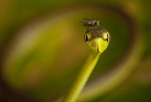 Fly Cap For A Vine Snake -  Photo and caption by Robin Moore/National Geographic Traveler Photo Contest -  A fly lands on the head of a vine snake in the Choco of Colombia