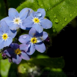 Forgetmenot...after the rain