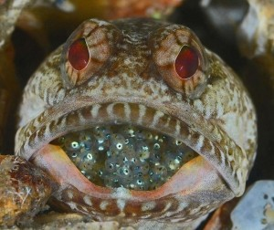 Fish or Marine Animal Portrait 3rd Place Judy Townsend, Florida A male Dusky Jawfish with his clutch of eggs at the Blue Heron Bridge in Riviera Beach, Florida.
