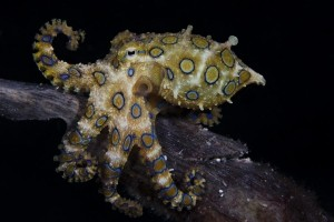Fish or Marine Animal Portrait 2nd Place Marcello DiFrancesco, Italy The greater blue-ringed octopus (Hapalochlaena lunulata)near Malapascua island, Philippines.