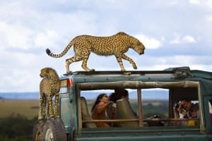 Third Place: Say cheese Photo and caption by Yanai Bonneh/National Geographic Traveler Photo Contest Cheetahs jumped on the vehicle of tourists in Masai Mara national park, Kenya.