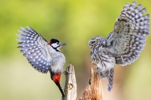 Photo and caption by Ian Schofield/National Geographic Photo Contest  A Little Owl (R) defends its feeding position from a Great spotted woodpecker  (L) with both birds showing a their full colours with dramatic full wing extensions.