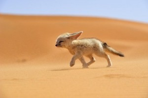 Photo and caption by Francisco Mingorance/National Geographic Photo Contest  The Fennec is a surprisingly easy to domesticate animals, which easily gets  used to living with humans. However, it is considered a rare and therefore  having them as a pet is illegal in many areas of its range. The Fennec is the  soul of the desert, a wild and free soul whose main threat is the illegal trafficking  by unscrupulous thugs who do not hesitate in the least to snatch the life from  the majestic dunes to change by the cold bars of a cage prison.