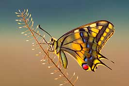 FeaturedPetar-Sabol-Papilio-machaon