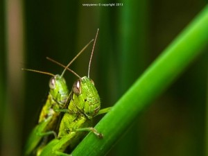3rd Place -Grasshopper love by Soe Pyae Oo
