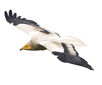 The Egyptian Vulture's Odyssey
