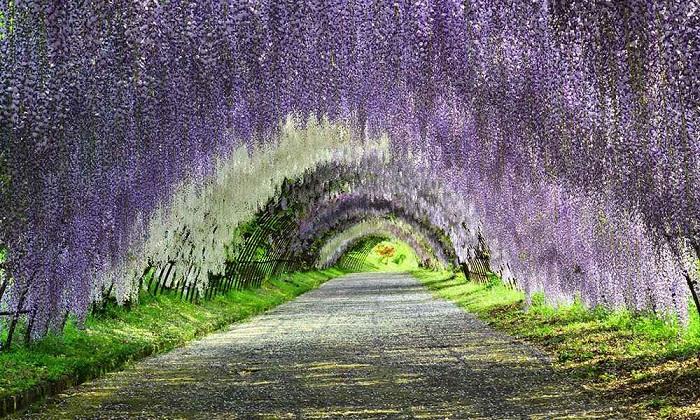 wisteria-tunnel